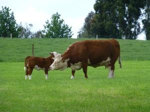 Alice born 2006 and heifer calf Coby born 2013